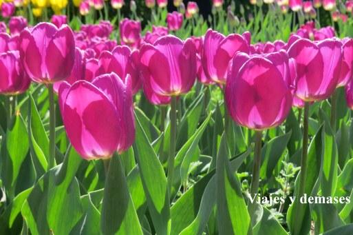 Tulipanes Parque Gorki, 9 de mayo Rusia