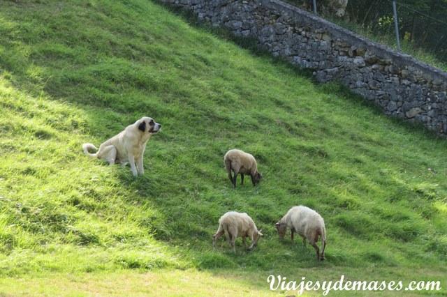 Es la primera vez que veo un perro ovejero trabajando.