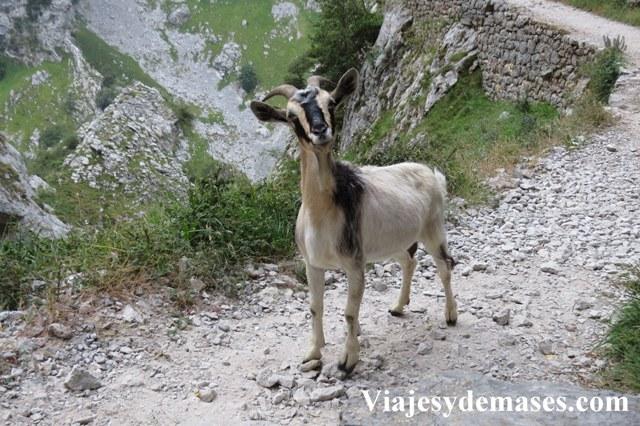 Esta cabra no estaba muy conenta con nuestra presencia...