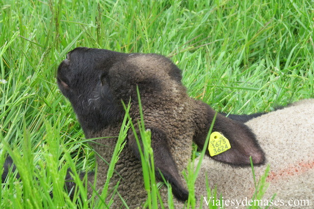 Una oveja indiferente.